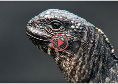 Iguana vs Snakes – Planet Earth II